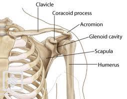 durerile musculare ale articulațiilor umărului brusture pentru durere în articulația genunchiului