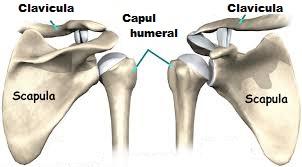articulatia scapulo humerala miscari luxația articulației cotului