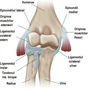 anatomy-of-the-elbow