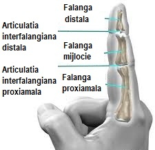 articulațiile degetului arătător)