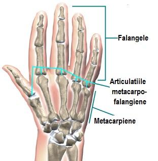 articulațiile mâinii umane)