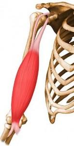 biceps_brachii1314374789636